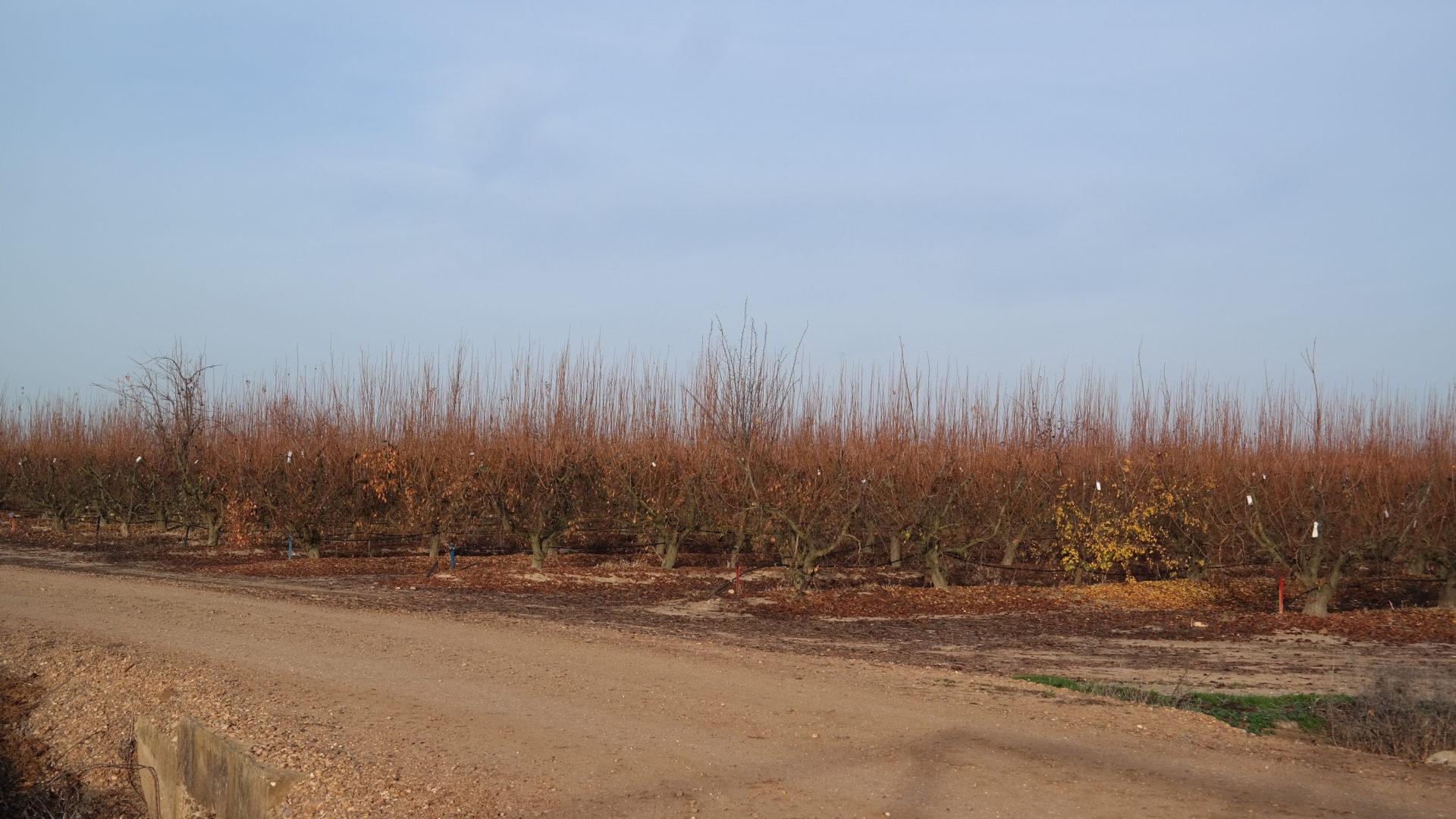 Continúa la quema de restos de cosecha para destruir malas hierbas y esporas de hongos, evitando el uso de fitosanitarios