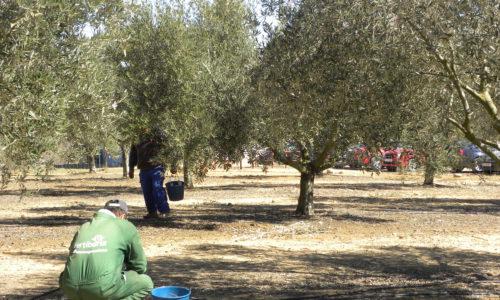 Se pone en marcha la campaña de prevención de robos de aceituna en el campo